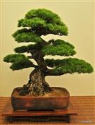 ACADEMIE BONSAI - ECOLE DE TRADITION JAPONAISE